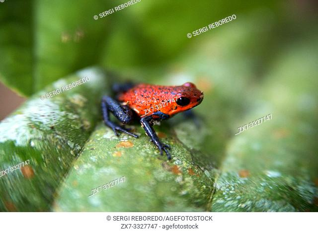 Strawberry poison-arrrow frog, red-and-blue poison-arrow frog, flaming poison-arrow frog, Blue Jeans Poison Dart Frog (Dendrobates pumilio), sitting on a leaf