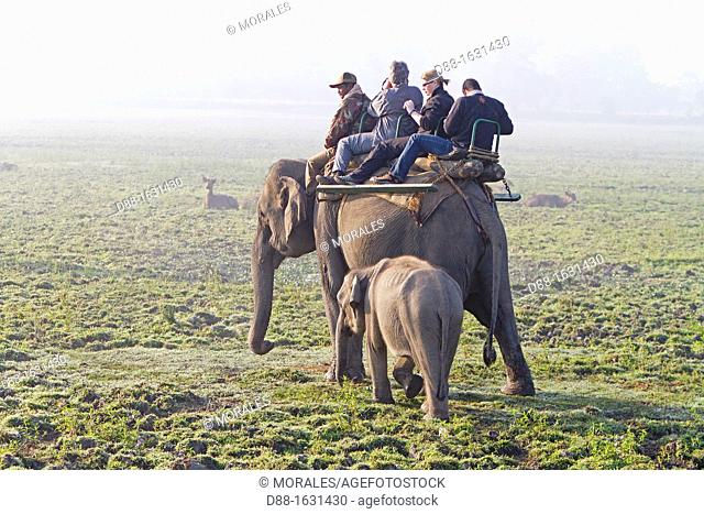 India , State of Assam ,Kaziranga National Park ,Asian Elephant  Elephas maximus  ,safari