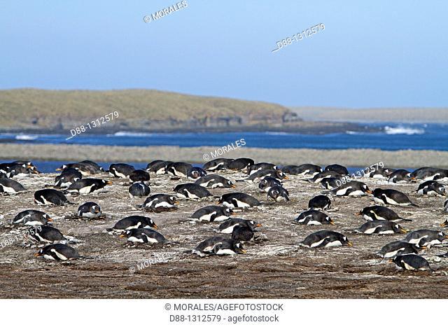 Falkland Islands , Pebble island , Gentoo Penguin  Pygoscelis papua papua