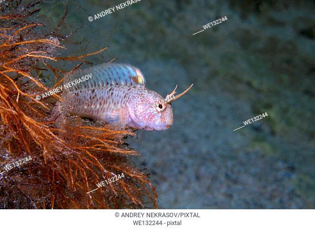 Tentacled blenny (Parablennius tentacularis) Black Sea, Crimea, Ukraine, Eastern Europe