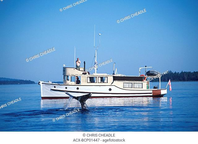 Grey whale in gulf islands, with classic yacht, Vancouver Island, British Columbia, Canada