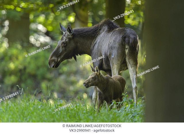 Moose, Elk, Alces alces, Mother and Calf
