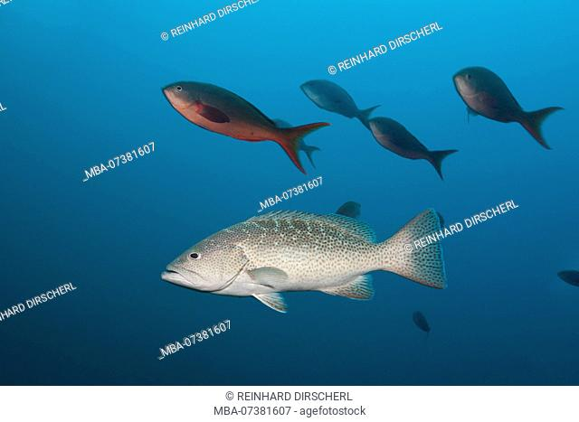 Gulf Grouper, Mycteroperca jordani, Cabo Pulmo, Baja California Sur, Mexico