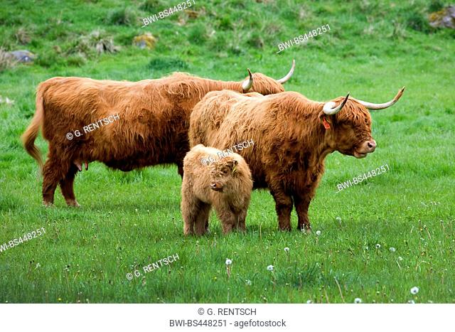 Scottish Highland Cattle, Kyloe (Bos primigenius f. taurus), Scottish Highland Cattles with calf in a meadow, United Kingdom, United Kingdom, Scotland