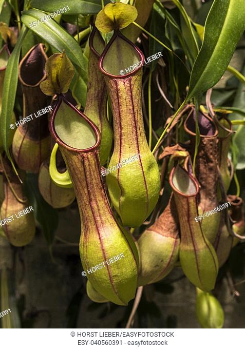 Pitcher plant (Nepenthes veitchii x stenophylla), a natural hybrid. Botanical Garden, KIT Karlsruhe, Germany, Europe