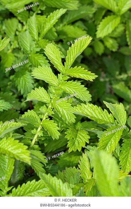 common agrimony, European groovebur (Agrimonia eupatoria), leaves before flowering, Germany
