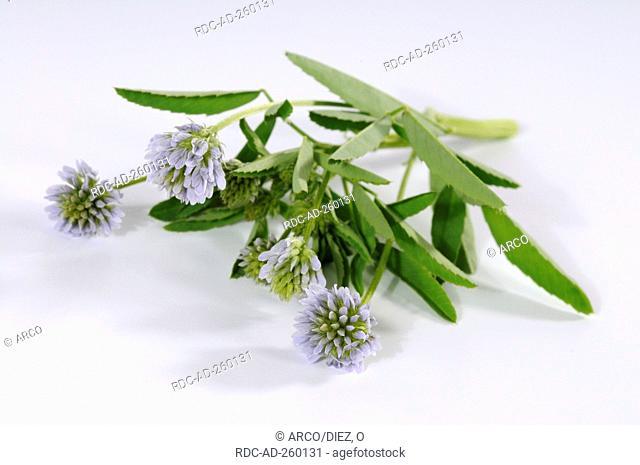 Blue Fenugreek Trigonella caerulea
