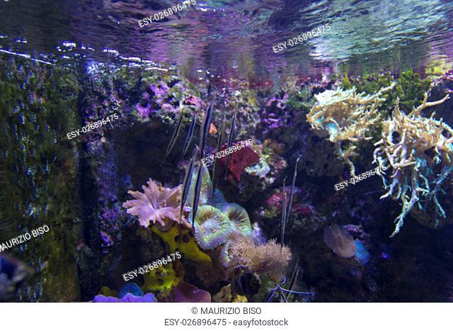 Pipefish on background coral reef in Aquarium