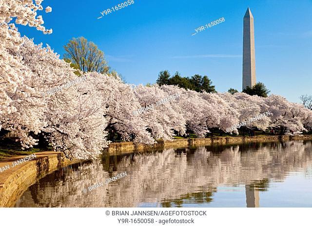 Blossoming cherry trees along the tidal basin with Washington Monument beyond, Washington DC, USA