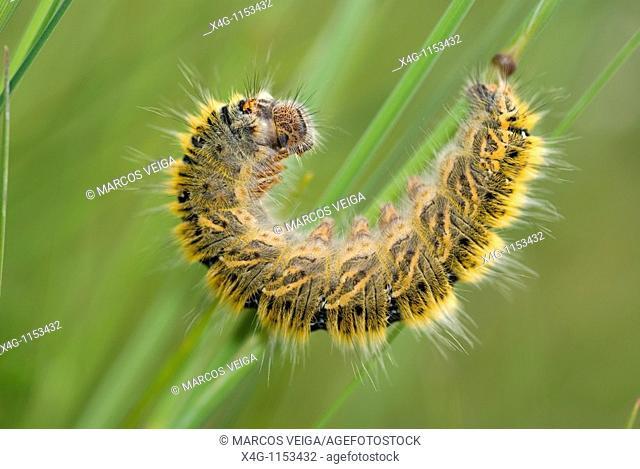Grass Eggar Moth caterpillar Lasiocampa trifolii