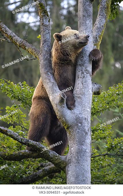 European Brown Bears, Ursus arctos, Climbing in tree, Bavaria, Germany