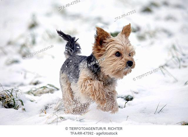 running Yorkshire Terrier