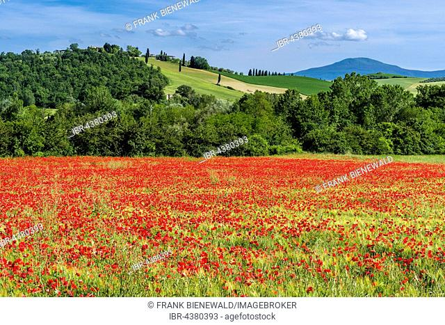Typical green Tuscan landscape in Val d'Orcia with hills, trees, red poppies and blue, cloudy sky, San Giovanni d'Asso, Tuscany, Italy
