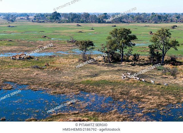 Botswana, Okavango Delta, listed as World Heritage by UNESCO, plains zebras (Equus quagga) (aerial view)