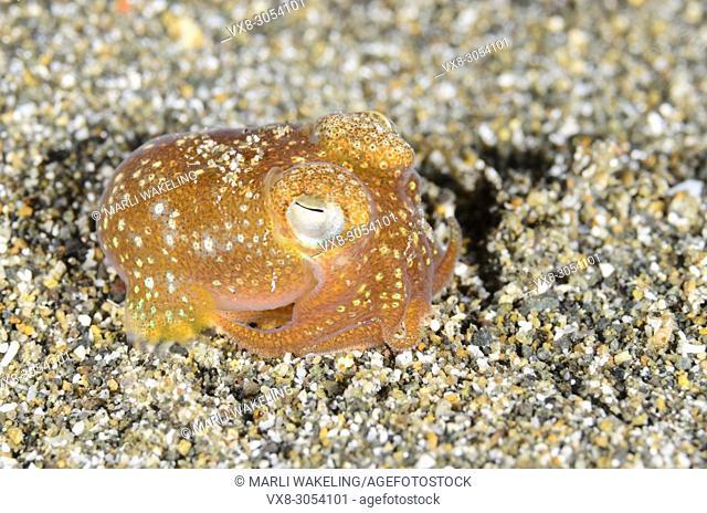 Tropical bottletail squid, Sepiadarium kochi, Anilao, Batangas, Philippines, Pacific