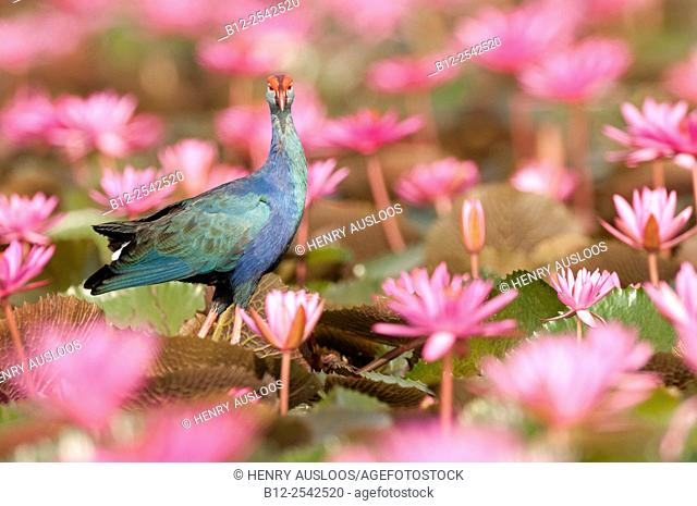 Purple Swamphen - in pink water lilies Porphyrio porphyrio poliocephalus - Thailand