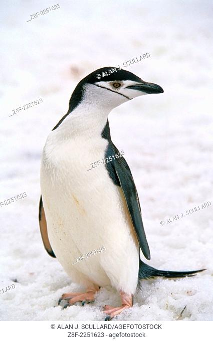 Chinstrap penguin at Port Lockroy base, Antarctica