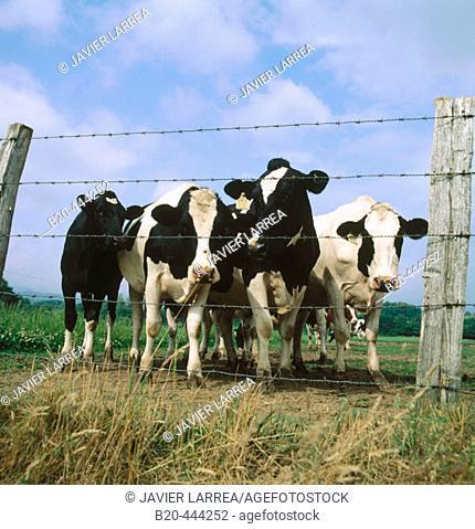 Cattle, Ulzama Valley, Navarre, Spain