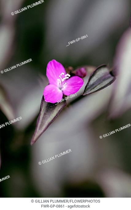 Tradescantia, Purple Tradescantia, Tradescantia 'Purple sabre', One mauve pink flower seen from above, with some leaves sharp focus against soft focus foliage...