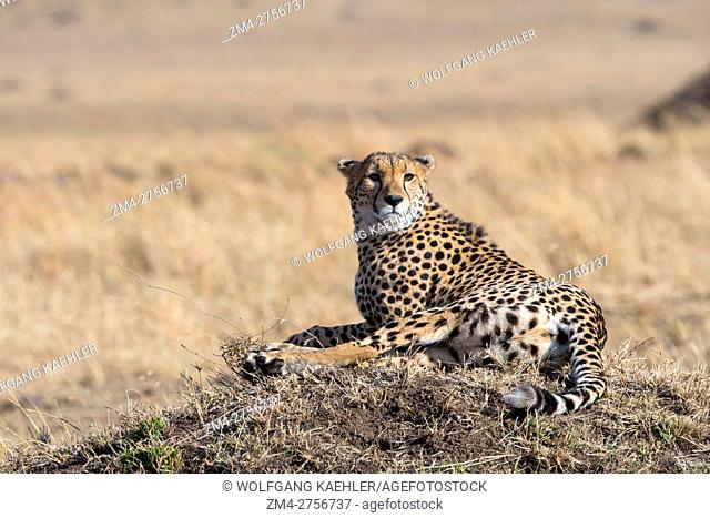 A Cheetah (Acinonyx jubatus) laying on a termite hill looking for prey in the grassland of the Masai Mara National Reserve in Kenya