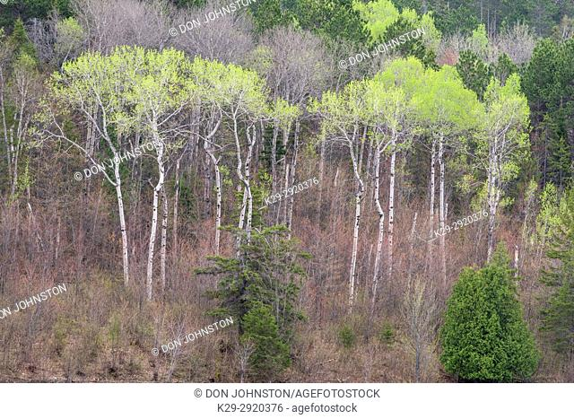 Aspen woodlot with emerging foliage, Greater Sudbury, Ontario, Canada