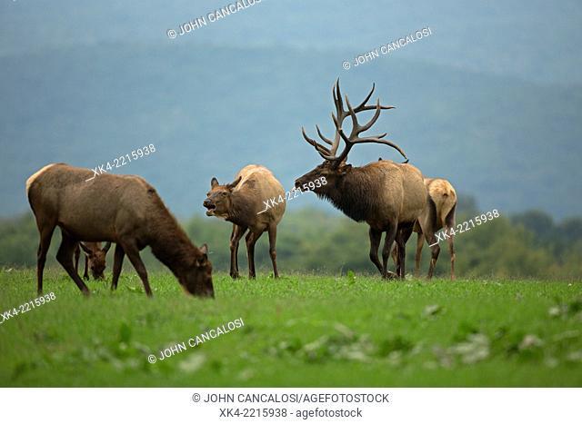 North American elk, during rut, Pennsylvania