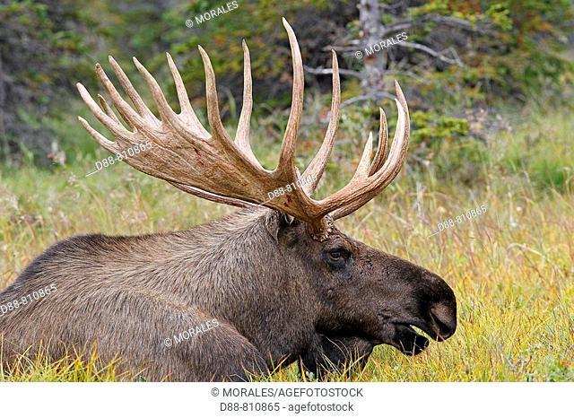 Moose (Alces alces), 5-7 year old male. Seward Peninsula, Alaska, USA