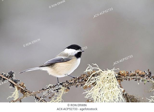 A Black-capped Chickadee Parus atricapillus perched on a lichen covered branch in Algonquin Provincial Park, Ontario, Canada