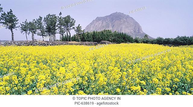 Rape Flowers Field,Mt.anbangsan,Jeju Island,Korea
