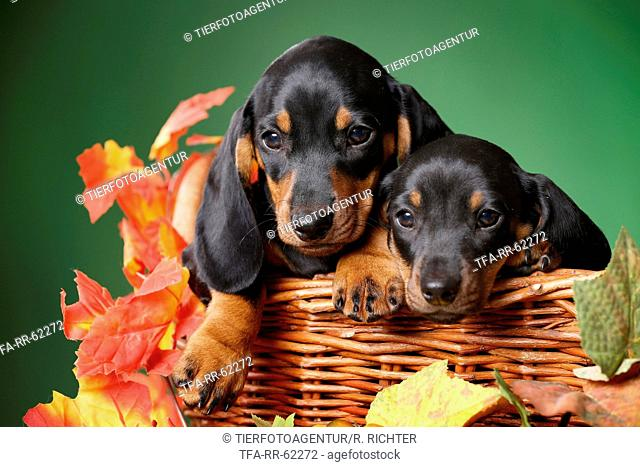 2 shorthaired Dachshund Puppies