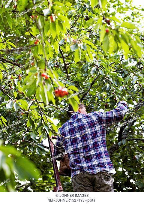 Man picking cherries, low angle view