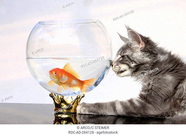 Maine Coon Cat and Goldfish / Goldfish bowl