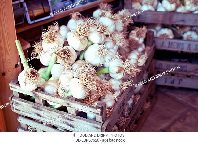Garlic bulbs in crates