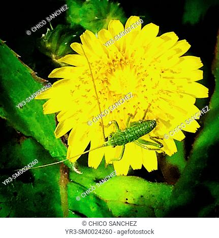 A green bug perches on a yellow flower in Prado del Rey, Sierra de Cadiz, Andalusia, Spain