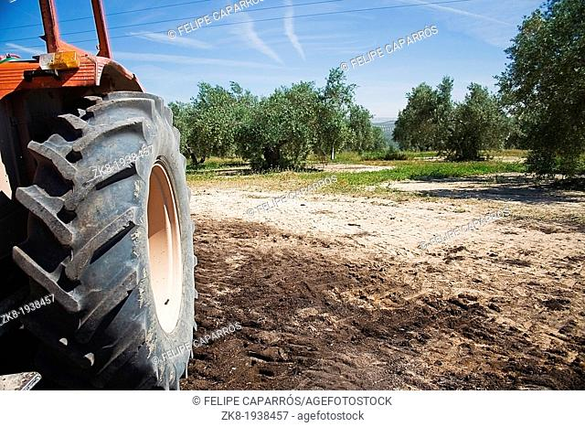 Tractor in the collection of olives in fields of Jaen, Andalusia, Spain