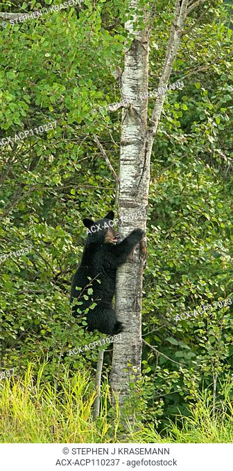 Wild American black bear (Ursus americanus) 2nd year old cub climbing aspen tree to escape danger, Quetico Provincial Park, Ontario, Canada