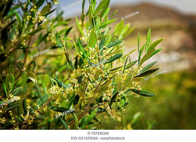 Image of an olive tree in an olive grove
