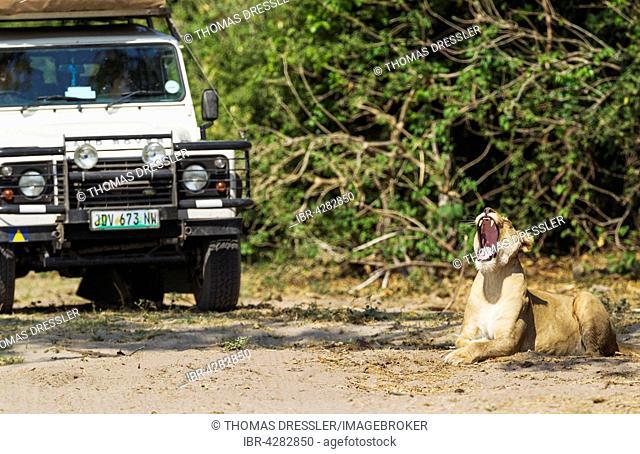 Lion (Panthera leo), yawning lioness and tourist vehicle, Chobe National Park, Botswana