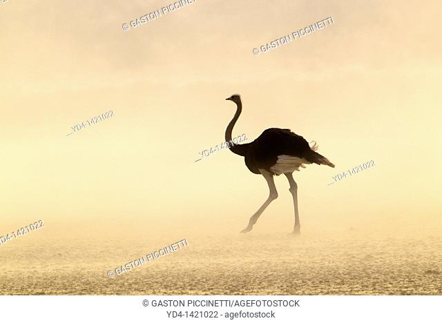 Common Ostrich Struthio camelus, in a sand storm, Kgalagadi Transfrontier Park, Kalahari desert, South Africa