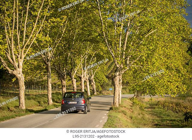 Plane trees and vineyards in the road to Sant Llorenç d'Hortons, Spain