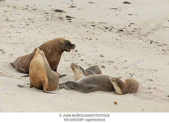 Australian sea lions Neophoca cinerea. Seal Bay Conservation Park. Kangaroo island. South Australia. Australia