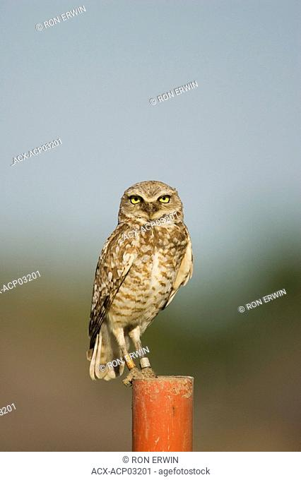 Wild Burrowing Owl endangered Athene cunicularia on a post in a new subdivision in Moose Jaw, Saskatchewan, Canada