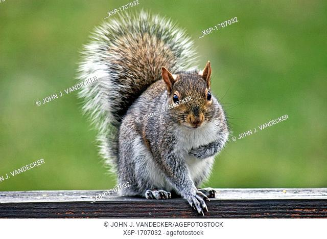 Eastern Gray Squirrel, Sciurus carolinensis, taking a bow or clutching its heart  Passaic, New Jersey, USA