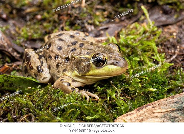 The mink frog, Rana septentrionalis, is a small frog native to the United States and Canada