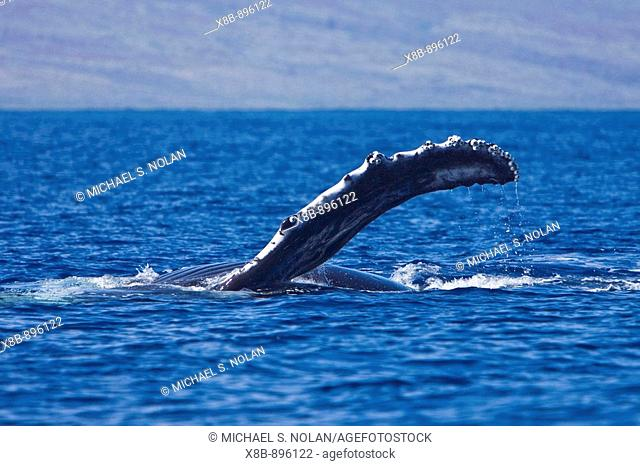 Young humpback whale (Megaptera novaeangliae) pectoral fin slapping in the AuAu Channel between the islands of Maui and Lanai, Hawaii, USA