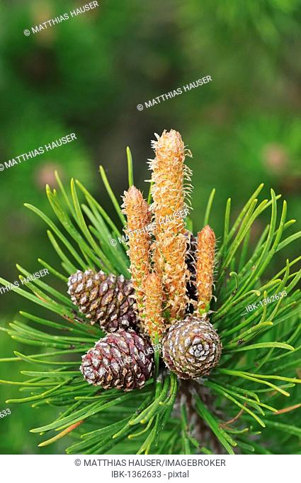 Mountain Pine (Pinus mugo)