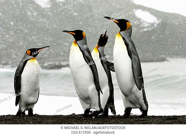 King Penguins (Aptenodytes patagonicus) on South Georgia Island, southern Atlantic Ocean