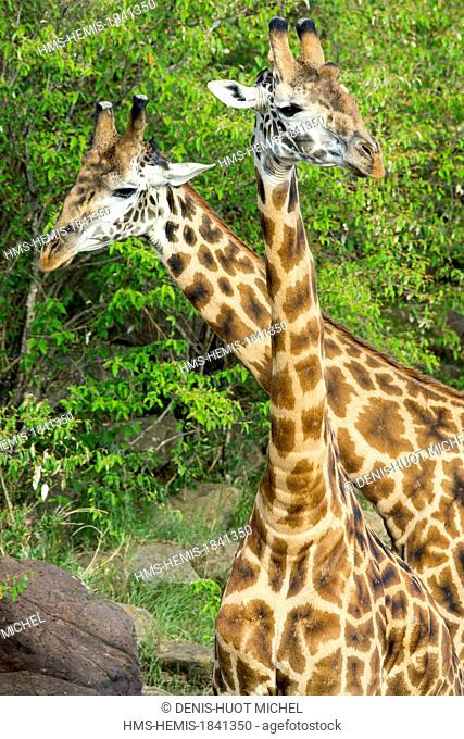 Kenya, Masai-Mara game reserve, Girafe masai (Giraffa camelopardalis), playing to fight