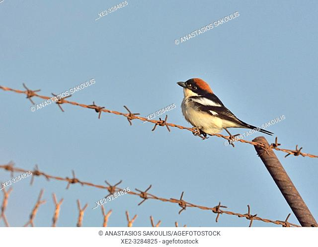 Woodchat Shrike (Lanius senator), Crete