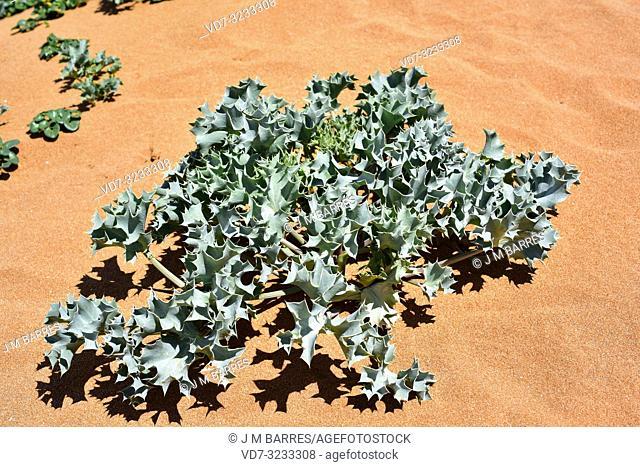 Sea holly (Eryngium maritimum) is a perennial herb native to European coasts. This photo was taken in Menorca, Balearic Islands, Spain